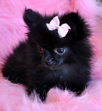 Tiny Pomeranian Puppy Adorable Black Princes Sold Moving To Arizona