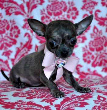 Micro Teacup Chihuahua Princess Rare