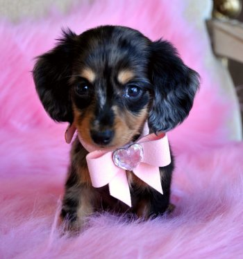 Tiny Mini Dachshund Puppy Adorable Dapple Princess Sold Found a loving  family