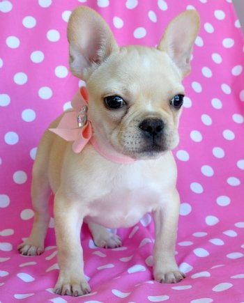 Tiny French Bulldog Puppy 26 Lb Akc Princess Sold Moving To New