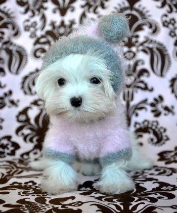 Tiny Teacup Maltese 110 Lb At 18 Weeks Breath Taking Sold Moving