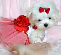 Teacup puppies for sale florida, Puppies For Sale Tampa, Puppies for