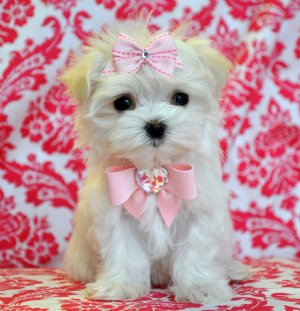 Teacup Maltese Princess 1 8 lbs lbs at 10 weeks! WOW She is GORGEOUS!!! SOLD