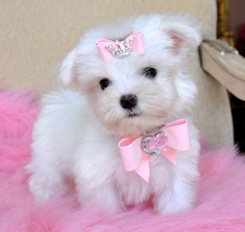 Tiny Teacup Maltese Too Cute!! 18 oz at 9 weeks! Tiny Baby Doll!! SOLD,  Moving to Texas!