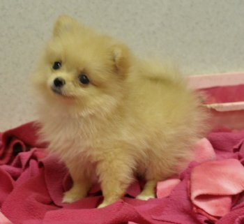 Tiny Cream Pomeranian Puppy Out Of This World Cute 16 At 8 Weeks