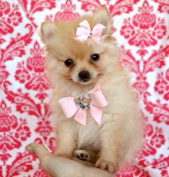 Tiny Teacup Cream Pomeranian Princess Adorable Little Teddy Bear
