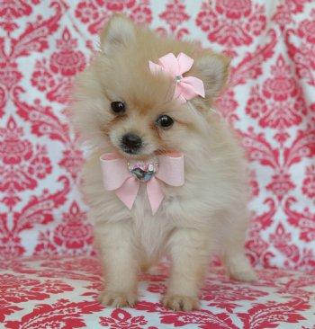 Tiny Teacup Cream Pomeranian Princess Adorable little teddy bear face!!  Tiny, Tiny, Tiny!! SOLD!! Moving to Miami!!