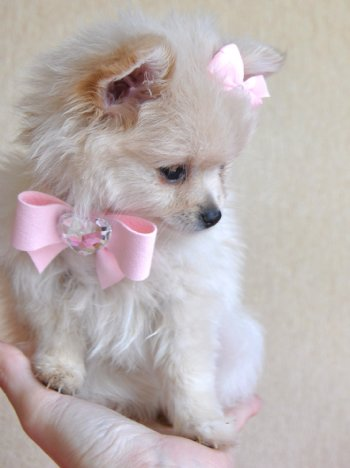 Tiny Teacup Pomeranian Stunning Cream Princess 16 oz at 10 ...
