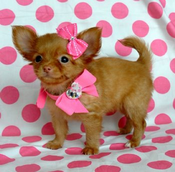 Tiny Teacup Chihuahua Beautiful Red Fawn Long Hair Princess 15 oz at 8  weeks! SOLD Moving to Iowa