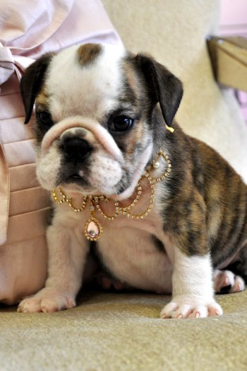 bulldog puppies florida english bulldog puppies for sale florida california new 987