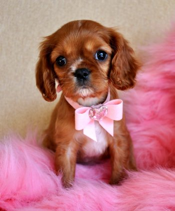 Tiny King Charles Spaniel Puppy Adorable Ruby Princess SOLD Found Loving  New Family