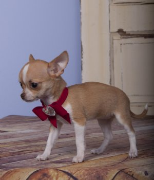 Teacup Chihuahua Princess Fawn & White SOLD Found Loving New Family!!!