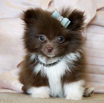 Tiny Teacup Pomeranian Prince Amazing Dark Chocolate Coat He Is A