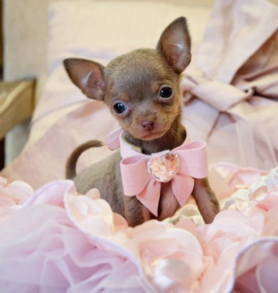 Micro Teacup Blue Chocolate Chihuahua Princess 10 oz at 9 weeks! Very Rare  Color! SOLD! Found a Loving Family in Texas!